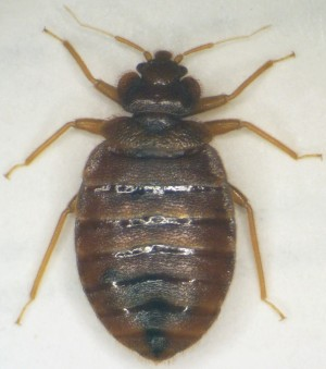 Pest control lincolnshire sleaford boston grantham for Bed bugs boston